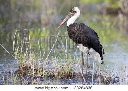 Ugly Marabou stork hunting for frogs in a shallow pond
