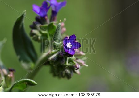 Flower of a common bugloss or alkanet (Anchusa officinalis).
