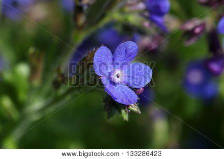 Macro photo of an Italian Bugloss (Anchusa azurea)