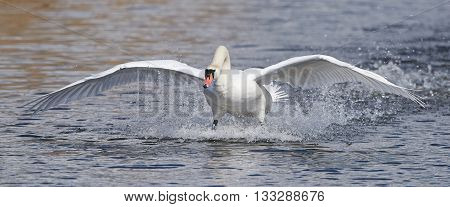 Mute swan (Cygnus olor) landing in water in its habitat