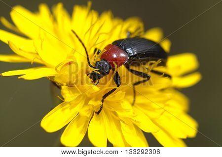 Heliotaurus ruficollis Beetle also called Toro sun