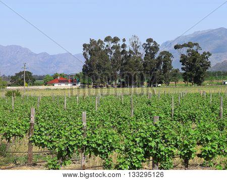 View Of A Grape Farm, West Coast South Africa 08