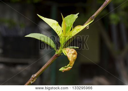 disease on the leaves of a fruit tree