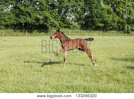 Foals Playing On Pasture