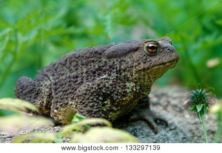 Common toad (Bufo bufo) in the garden in summer with effect of shallow depth of field