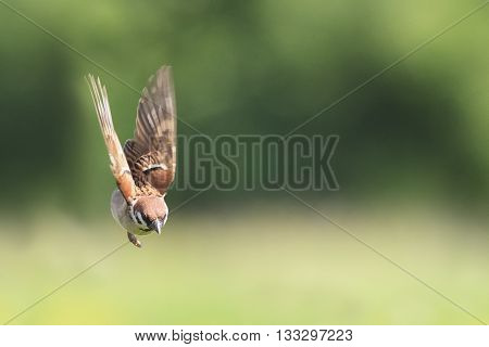 one bird Sparrow flying in the blue sky spread their feathers and wings