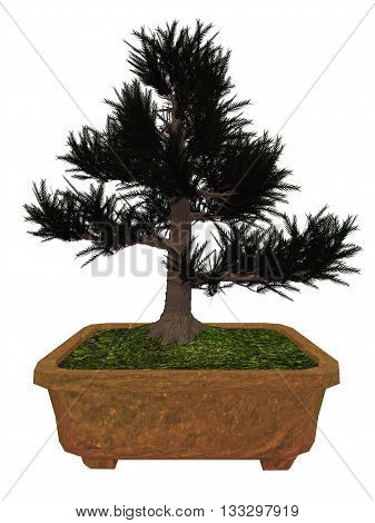 Japenese cedar, cryptomeria japonica, tree bonsai isolated in white background - 3D render