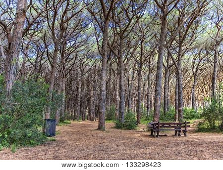 Bench in a pinewood forest, Cecina in Tuscany, Italy