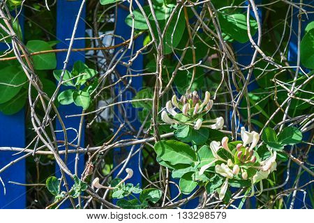 a twining honeysuckle twisting around the fence
