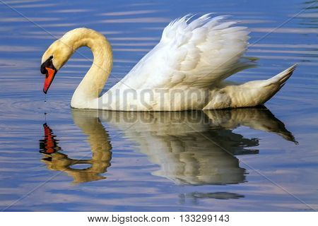 Mute swan, cygnus olor, floating on water with its reflexion in it