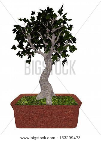 Field maple, acer campestre, tree bonsai isolated in white background - 3D render