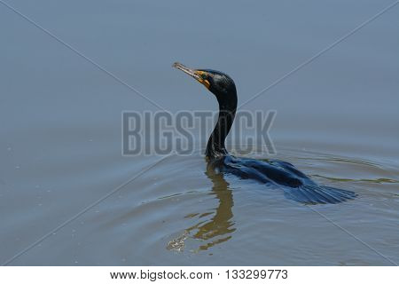 Double crested cormorant swimming after having just emerged from dive with water still flowing over head