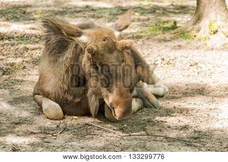 Large moose without a horn lying on the ground near the tree