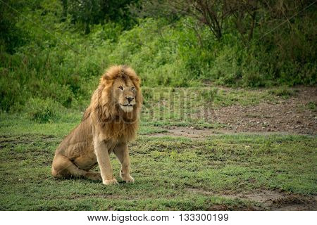 Large African male lion sitting alert in the Serengeti, Africa.