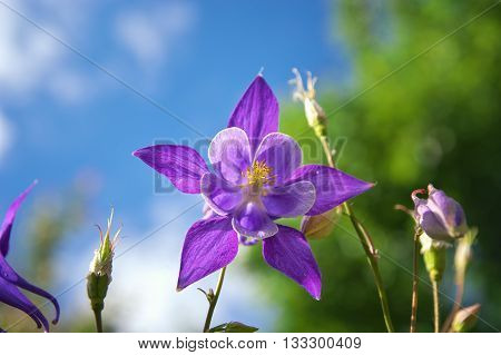 Beautiful Purple Aquilegia.