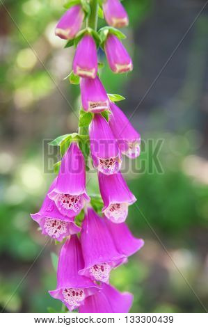 Beautiful pink foxglove blooming. Flower in the garden