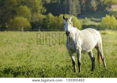 White horse in meadow before sunset time