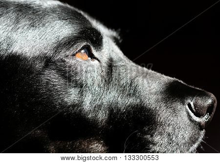 Black Labrador Retriever Dog In Profile Against Black Background