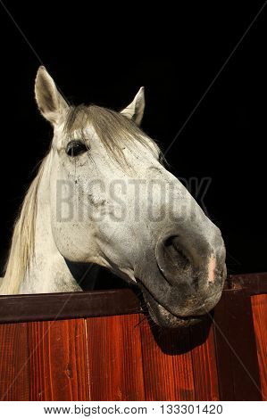 White horse looking in the ranch stable