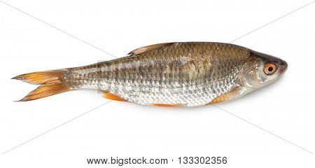 Roach fish isolated on white background