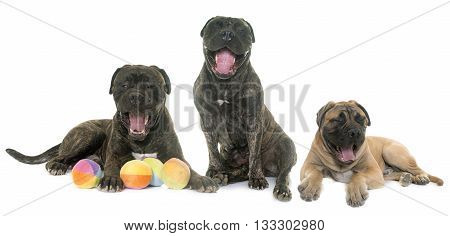 yawning bull mastiff in front of white background