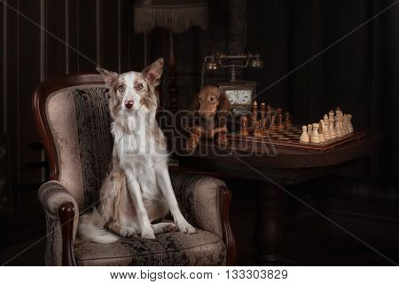 Border collie and Dachshund playing chess in a interior Studio