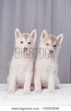 Cute little puppy sit on white background. not isolate