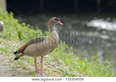 Egyptian Goose (Alopochen aegyptiacus) adult standing on the quayside at the Kortenaerkade in the Hague Den Haag the Netherlands