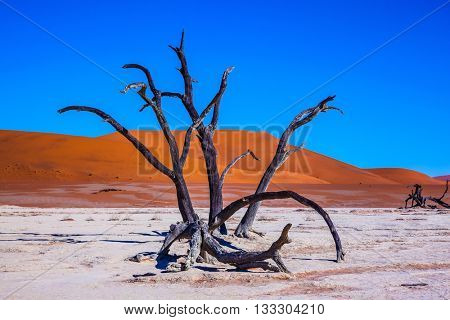 Namib-Naukluft National Park. Travel to Namibia. Picturesque dry trees at the bottom of the dried lake. The morning sunrise