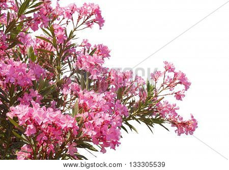Pink flowers of oleander isolated on white background.