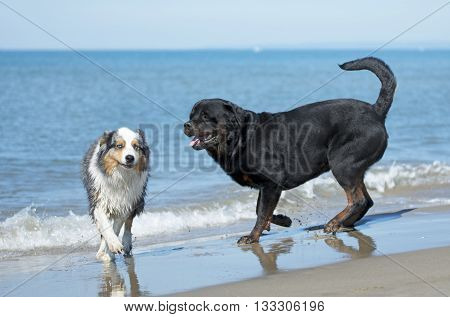 rottweiler and australian shepherd playing on the beach