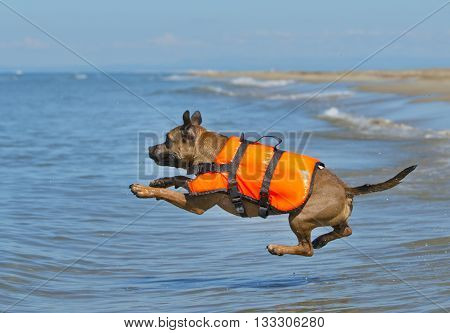 staffordshire bull terrier jumping in the sea in France