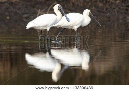 Pair of royal spoonbills (Platalea regia) wading in a creek