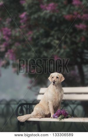 Romantic Labrador retriver dog performs the trick in a lavender garden