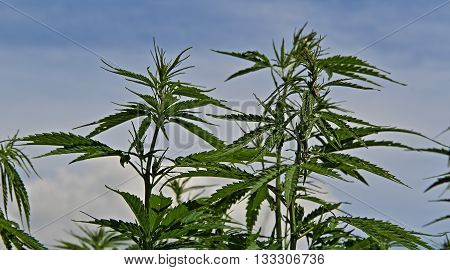 Cannabis sativa plants with seeds over blue sky background