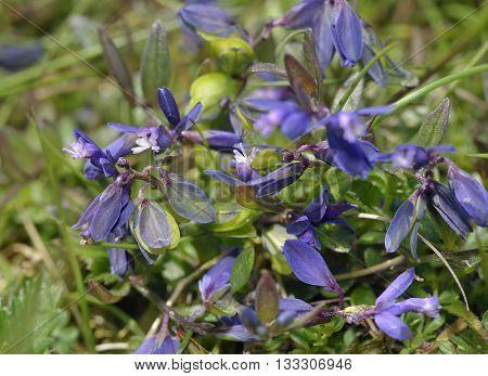 Heath Milkwort - Polygala serpyllifolia Small Acidic Grassland Flower