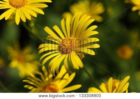 Flower of a Great Leopards Bane (Doronicum pardalianches)
