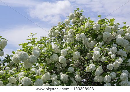 White flower of the snowball viburnum Buldenezh in bloom.