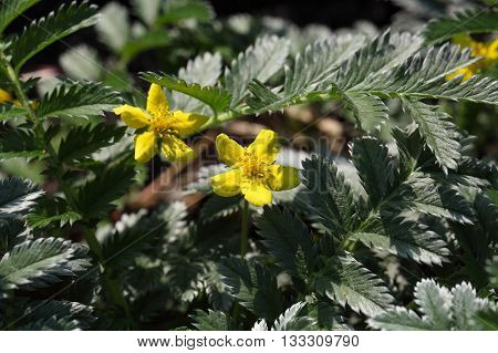 Flower and leaves of a silverweed (Argentina anserine).