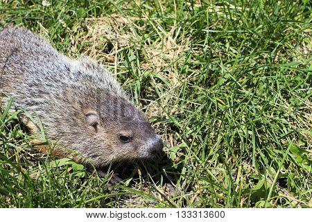 A cute groundhog walking through the grass