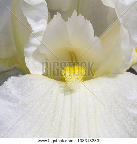 White Spring Flowers In A Garden. Iris Flower