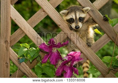 A cute raccoon baby climbing in the garden.