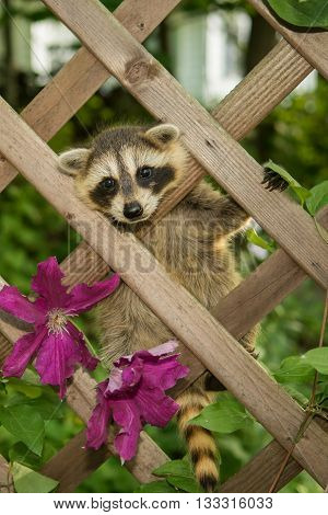 A baby raccoon climbing in the garden.