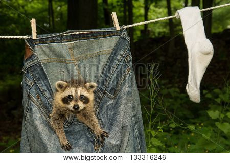 A baby raccoon hiding in the laundry drying on a clothes line.