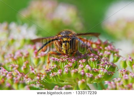 Paper wasp on flowers (Polistes dominula) of Angelica
