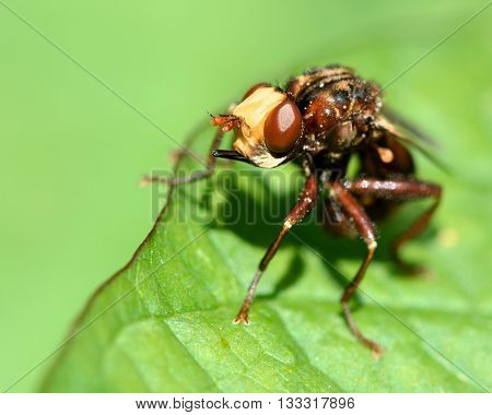 Sicus ferrugineus conopid fly. Head of fly in family Conopidae an endoparasite of insects notably aculeate hymenoptera
