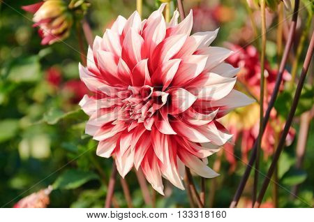 Flower Dahlia red and white color close-up