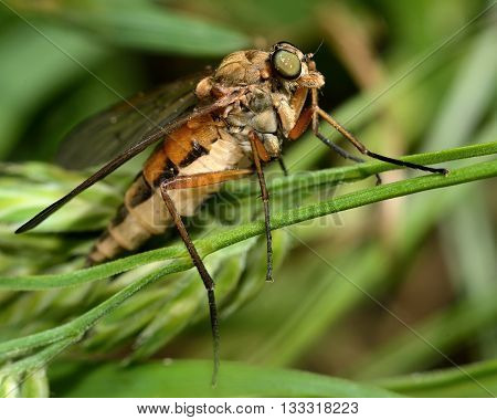 Common snipe fly (Rhagio tringarius) in profile. Large insect in the family Rhagionidae predatory animals known as snipe flies