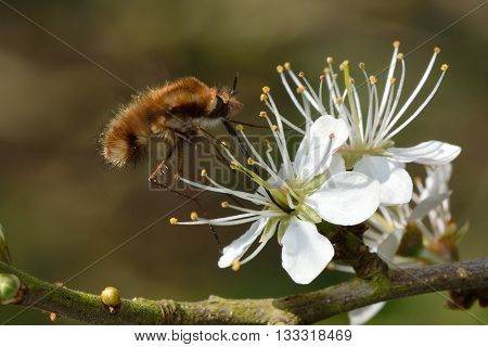 Dark-bordered bee fly (Bombylius major) feeding in flight. Bee mimic in the family Bombylidae with very long proboscis nectaring on spring blossom