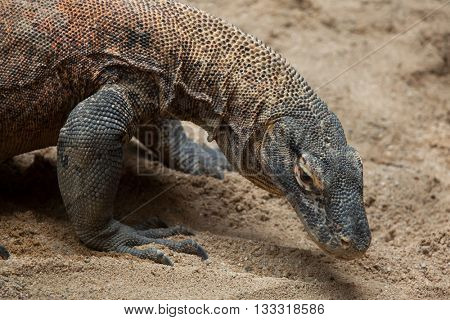 Komodo dragon (Varanus komodoensis). Wildlife animal.